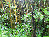 Hawaii Rainforest - Akaka