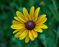 Black-eyed Susan flower. Backyard spring nature in New Jersey. Image taken with a Fuji X-T2 camera and 60 mm f/2.4 macro lens (ISO 200, 60 mm, f/8, 1/150 sec).