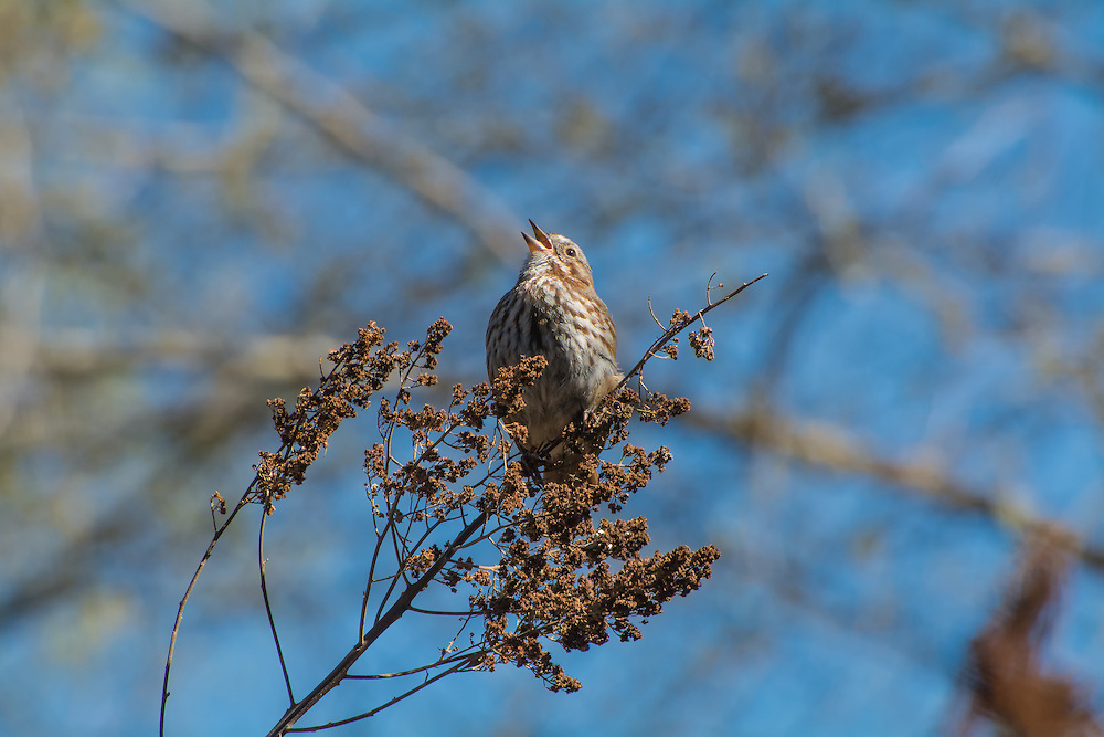 This song sparrow was welcoming the springtime with the most beautiful singing in Bellevue, Washington.