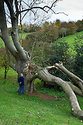 Woman views damage to ancient ash tree in the Cotswolds, UK