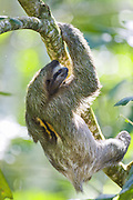 Brown-throated Three-toed Sloth <br /> Bradypus variegatus<br /> Male<br /> Limon, Costa Rica