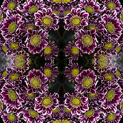 Photographic series of digital computer art from an image of Orinoco Novelty Pom Burgundy Flower.<br /> <br /> Two layers were used, first one mirrored and flipped to second one, to enhance, alter, manipulate the image, creating an abstract surrealistic mirrored symmetry.<br />  _________________________________<br /> <br /> <br /> Burgundy flower, the Orinoco Dutch Novelty Pom is a unique spray flower in the Pompom family. A classic daisy bloom with an average of 4-7 flowers per stem, the Orinoco flower has burgundy petals trimmed in white.