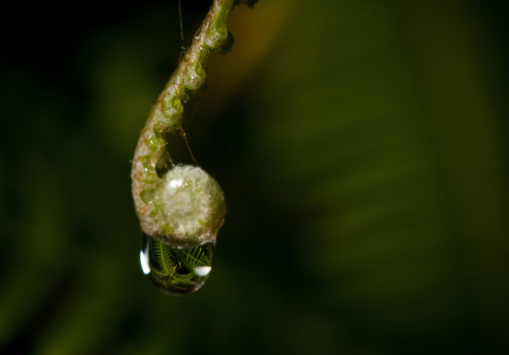 Ferns reflect on a droplet of water in the Sierra Caral of Guatemala