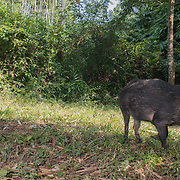 The wild boar (Sus scrofa), also known as the wild swine or Eurasian wild pig, is a suid native to much of Eurasia, North Africa, and the Greater Sunda Islands.