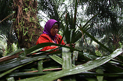 November 10, 2018 - Bogor, West Java, Indonesia - A female worker seen collecting palm oil leaves at the Nusantara VIII palm oil plantation. (Credit Image: © Adriana Adinandra/SOPA Images via ZUMA Wire)