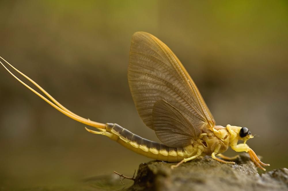 Mayfly (Palingenia Longicauda) is molting in the river Tisza, Hungary, June 2009.