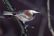 Chestnut-backed Chickadee - Poecile rufescens