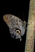 Owl butterfly (Caligo sp., probably C. oileus) from Ecuador. (Controlled conditions).