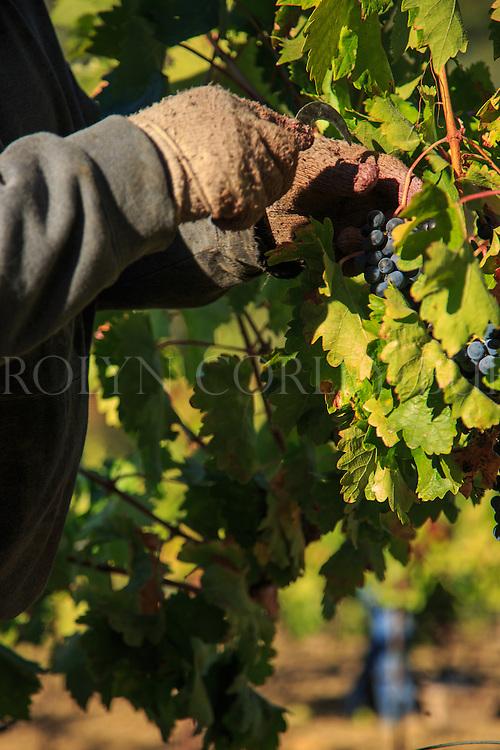 2013 Harvest at Brown Estate