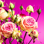 Pink roses on pink
