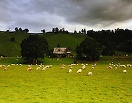 Sheep and abandoned farmhouse, New Zealand. 1999