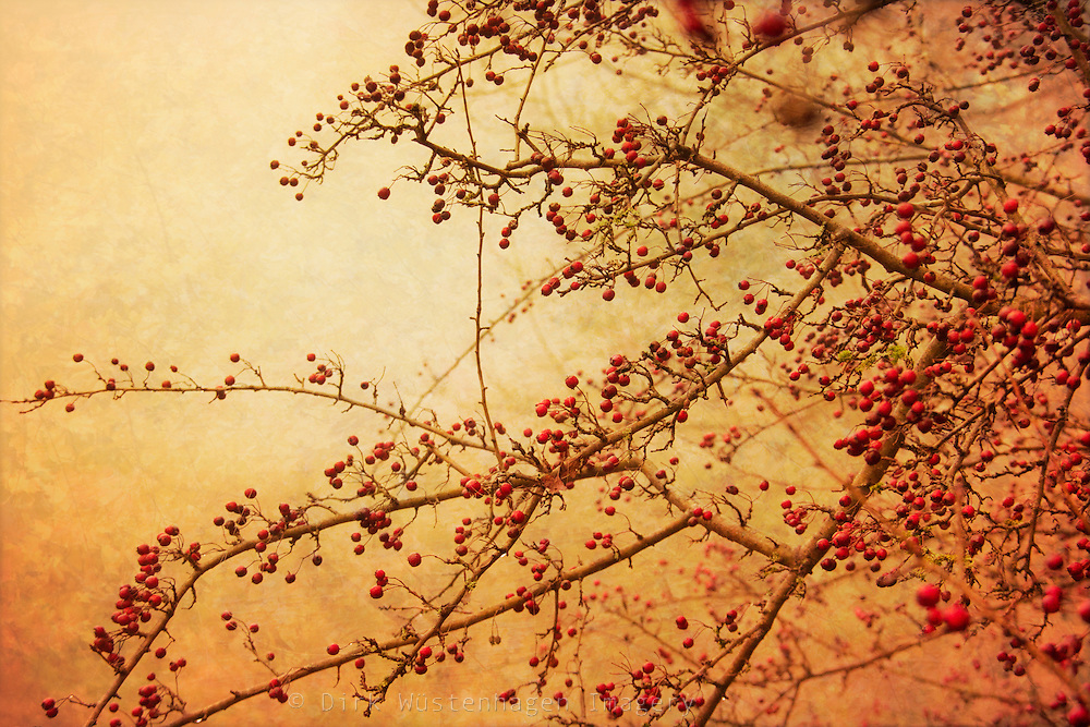 Hawthorne tree with red berries in fog