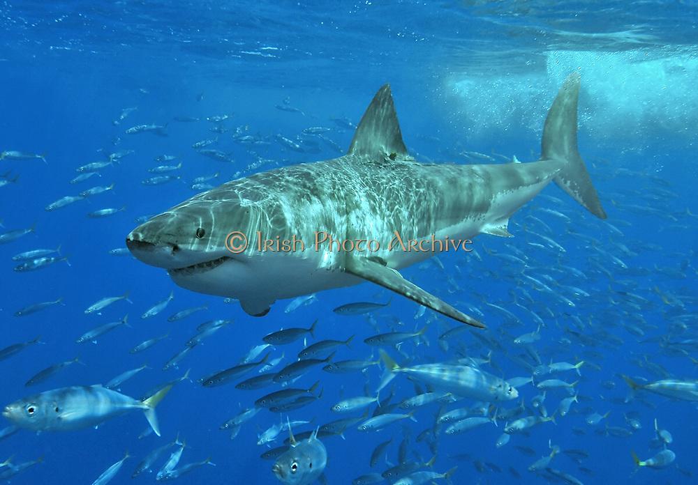 Shark with shoal of fish swimming below. Sea Ocean Shark Natural History Blue