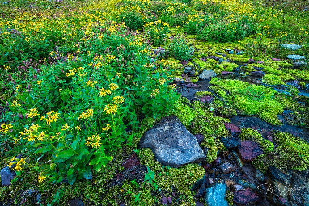 Wildflowers on Logan Pass, Glacier National Park, Montana USA
