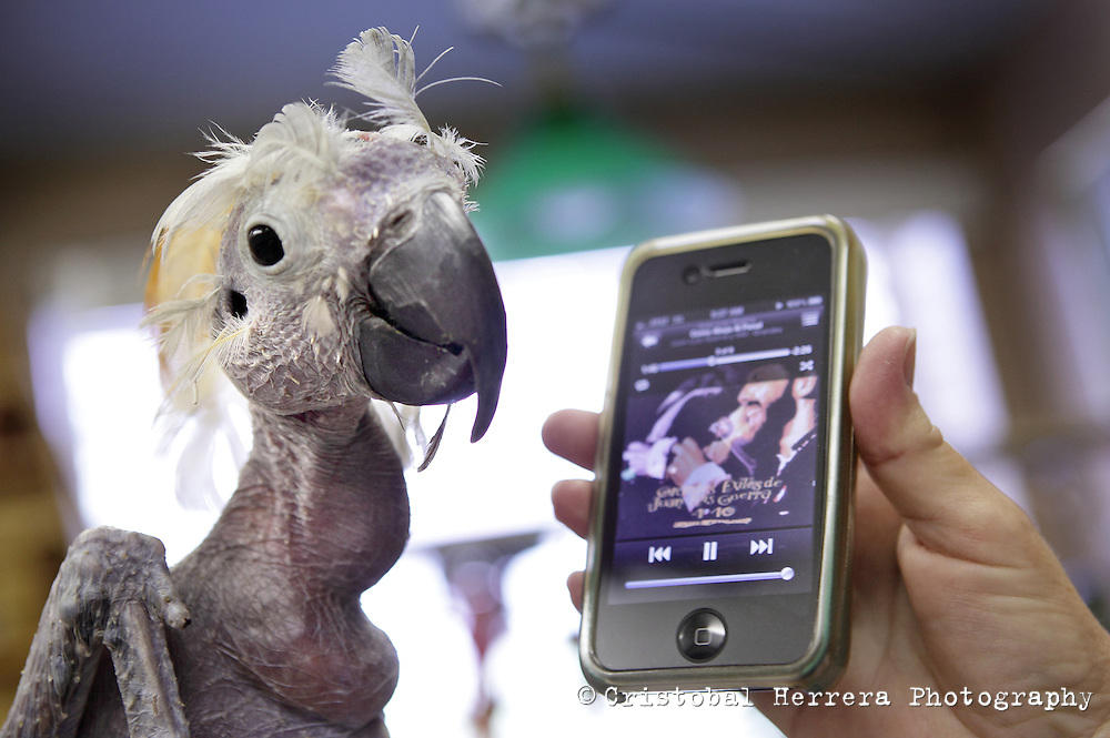 Oscar, a bald cockatoo, is listen Hispanic music from an iPhone, in Hallandale Beach on August 21, 2012. Oscar is the unofficial mascot of the Humane Society of Broward County. Staff photo/Cristobal Herrera