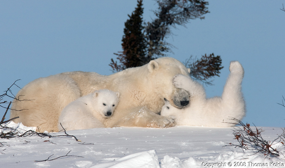 Polar bear cubs (Ursus maritimus) playing with their mother, Churchill, Manitoba, Canada.