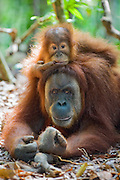 Sumatran Orangutan<br /> Pongo abelii<br /> Mother resting with 2.5 year old baby<br /> North Sumatra, Indonesia<br /> *Critically Endangered