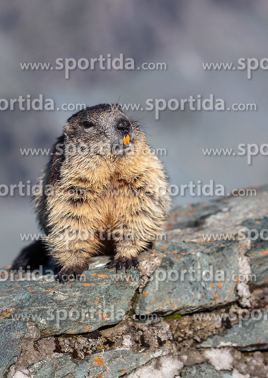 THEMENBILD - ein Murmeltier auf einer Steinmauer auf der Grossglockner Hochalpenstrasse, Heiligenblut, Oesterreich, aufgenommen am 31. Juli 2015 // a marmot on a stone wall at the Grossglockner High Alpine Road, Heiligenblut, Austria on 2015/07/31. EXPA Pictures © 2015, PhotoCredit: EXPA/ JFK