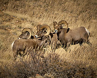 Big Horn Sheep Along Colorado 14 near Sheridan in Roosevelt National Forest. Image taken with a Nikon D2xs and 200-400 mm lens (ISO 100, 400 mm, f/5.6, 1/800 sec)