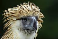 Philippine eagle, Pithecophaga jefferyi , Philippinenadler, águila monera, フィリピンワシ, Filippinsk Apeørn, 食猿鵰, عقاب فلبيني