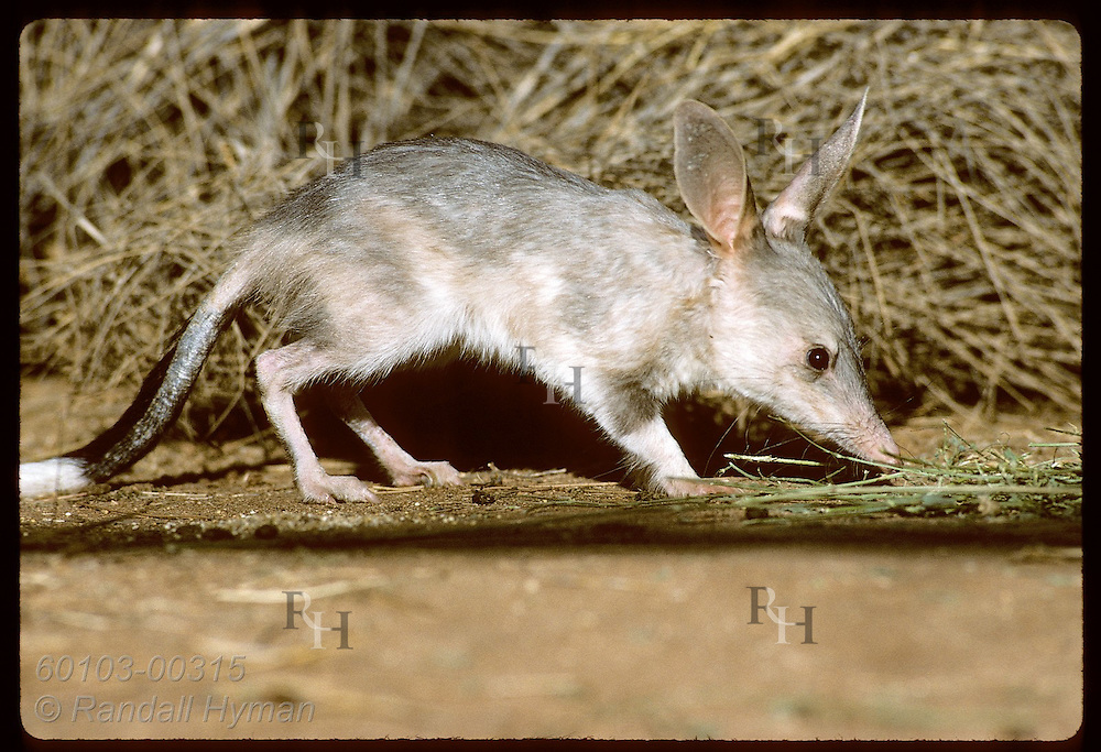 Rabbit-eared bandicoot, or bilby, forages by spinifex grass in pen; Conserv Commssn of NT/Alice Australia
