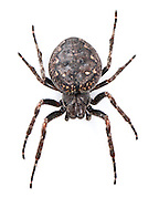Nuctenea umbratica - Female. A large nocturnal orb weaver that is adapted to hide in crevices on tree trunks during the day but is found out in its strong web at night. It is a common spider also living on fences and walls.