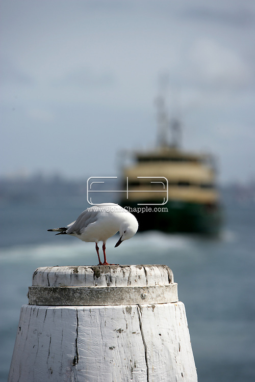 5th February 2007. Sydney, NSW. A lone seagull watches the ferry depart Manly beach, Sydney. PHOTO © JOHN CHAPPLE / REBEL IMAGES. .tel 310 570 9100.john@chapple.biz.www.chapple.biz..