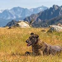 &quot;Pietra&quot;, a corsican dog breed called Cursinu, posing on Col St. Georges (between Quasquara and Porticcio). &quot;Pietra&quot;, we named after the famous cosican beer, joined us as we were leaving the GR20 trail days ago. The cursinu <br /> went with us along Mare e Mare Centre for a couple of days and we realized later - as a lot of people were starring at us, - that these intelligent dogs are <br /> very appreciated in corsica.