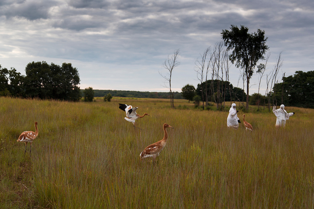 Juvenile Whooping Cranes take a prairie walk with costumed aviculturists.