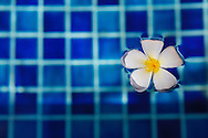 Frangipani flower floating in a pool