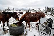 Quarter Horses, Australian Shepherds, dogs, winter, Montana