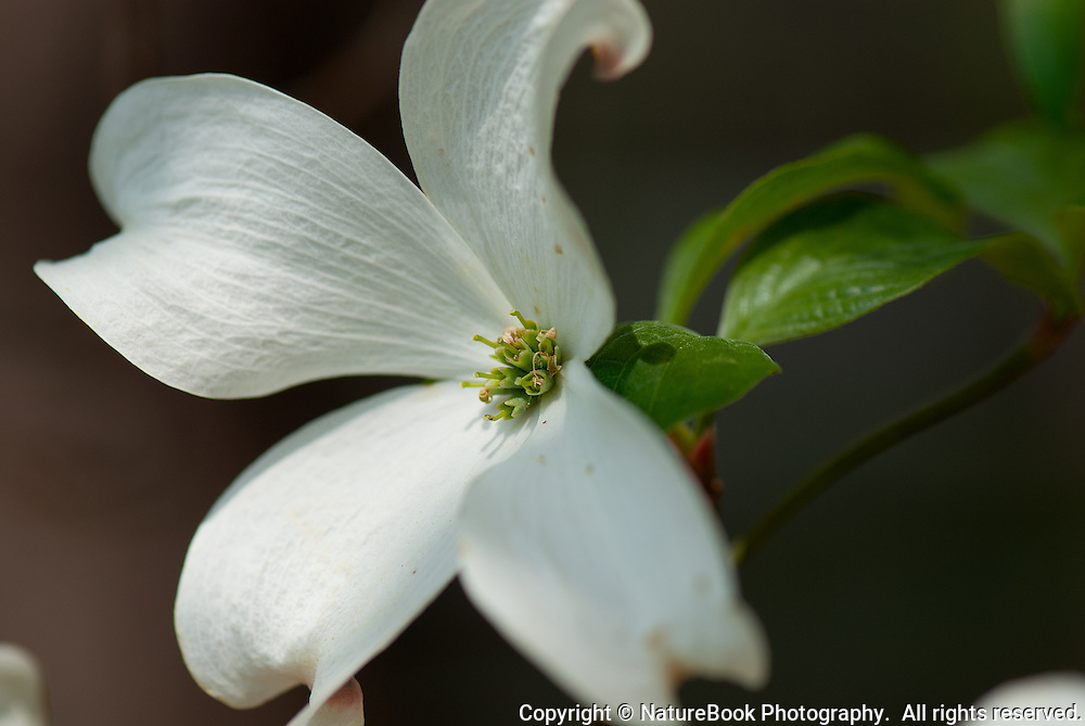 A dogwood leaf in full bloom in the spring.