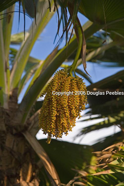 Palm tree seed, Poipu, Kauai, Hawaii