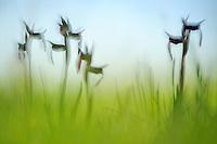 Tongue Orchids (Serapias lingua), Pollino National Park, Italy; WWoE Mission