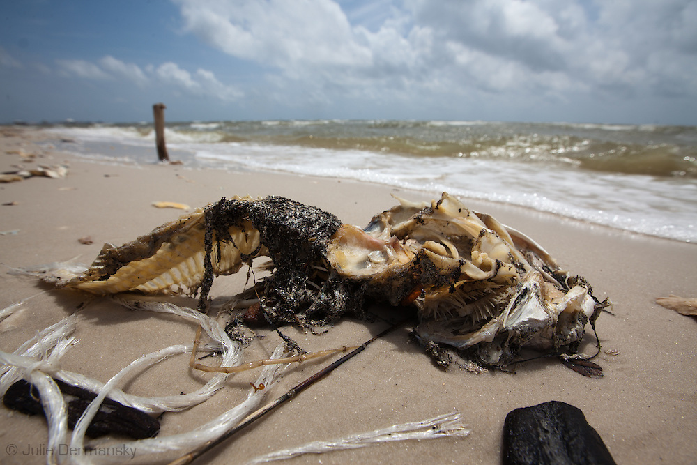 Dead Catfish in Pass Christian, Mississippi on the beach.<br /> An unprecedented number of dead animals   have washed up on the shores of Mississippi along the Gulf of Mexico starting almost a year after the BP oil spill. in Long Beach, Mississippi on the beach.<br /> An unprecedented number of dead animals   have washed up on the shores of Mississippi along the Gulf of Mexico starting almost a year after the BP oil spill.