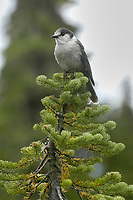 Clark's Nutcracker (Nucifraga columbiana) in fir tree, Mount Washington, Vancouver Island, Canada   Photo: Peter Llewellyn