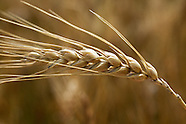 Wheat Scenic