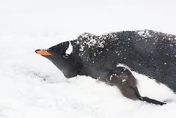 Gentoo Penguin (Pygoscelis papua) in snow, Antarctica