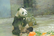 """CHENGDU, CHINA - SEPTEMBER 02: <br /> <br /> The male panda \""""Panpan\"""" eats his birthday present - \""""bamboo cake\"""" during her 31st birthday celebration on September 2, 2016 in Chengdu, Sichuan Province of China. \""""Panpan\"""", the eldest male panda in the World, celebrated his 31-year-old birthday at the Panda Conservation Center in Chengdu. One year for a panda is equivalent to three or four years for a human being.<br /> ©Exclusivepix Media"""