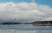 A flock of ducks take flight over Lake Winnipesaukee from Saunders Bay on Thursday morning.  (Karen Bobotas/for the Laconia Daily Sun)