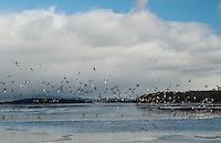 A flock of ducks take flight over Lake Winnipesaukee from Saunders Bay on Thursday morning.  (Karen Bobotas/for the Laconia Daily Sun)