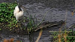 24-10-2008 REPORTAGE: KILIMANJARO CHALLENGE 2008: TANZANIA <br /> De dag van De Ngorongoro-krater, de grootste intakte caldera (ingestorte vulkaankegel) ter wereld. Hij bevindt zich ten noordwesten van Arusha in Tanzania / Wild, dieren, Natuur, vogels, Heilige Ibis<br /> ©2008-FotoHoogendoorn.nl