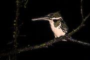 Green Kingfisher (Chloroceryle americana)<br /> Mapari<br /> Rupununi<br /> GUYANA<br /> South America