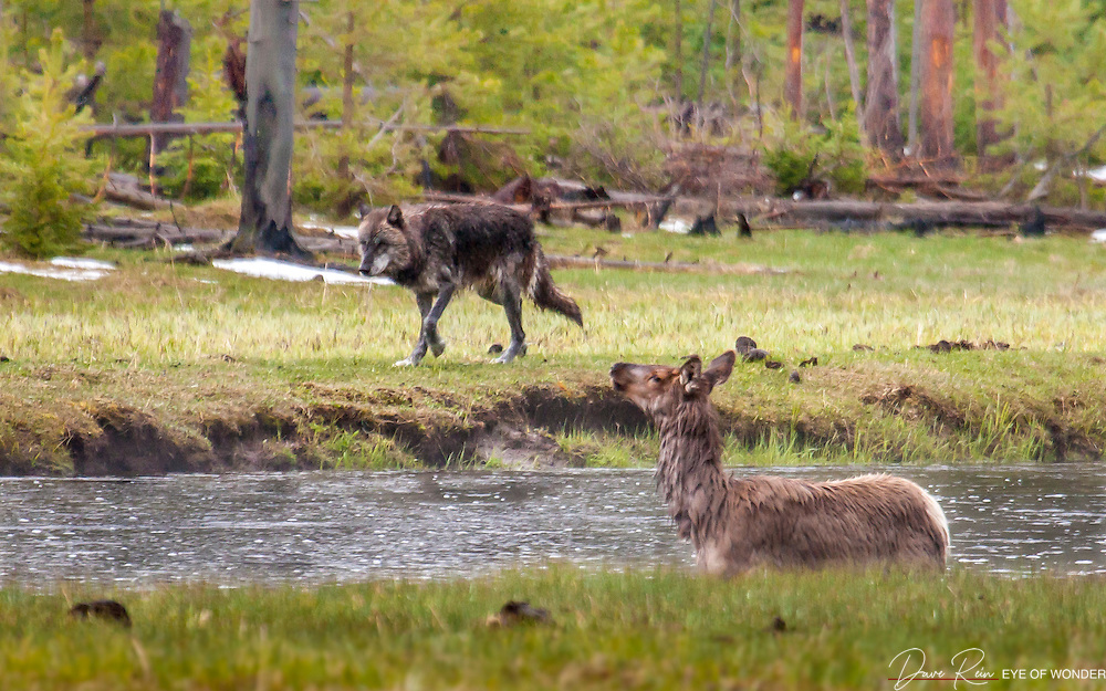 Wolf - Elk Encounter, West Yellowstone N.P.