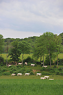 14/05/15 - RIAUCOURT - HAUTE MARNE - FRANCE - Troupeau de bovins allaitants. Vaches CHAROLAISES - Photo Jerome CHABANNE