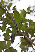Red-crowned Parakeet, Ulva Island, New Zealand