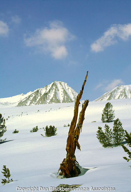 The remnants of an old foxtail pine rise out of the snow below California's Sierra Crest in late winter.