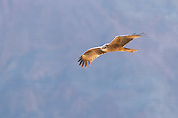 Black Kite (Milvus migrans) on migration in flight against Eilat Mountains, Israel, April, 2016.