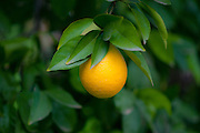 Ripe orange on a tree before picking