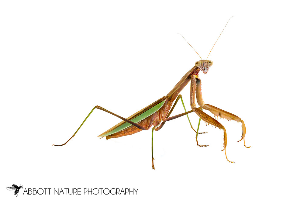 Chinese mantis (Tenodera sinensis)<br /> Captive individual<br /> 16-Aug-2015<br /> J.C. Abbott &amp; K.K. Abbott